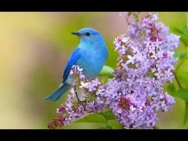 Пение соловья и лесных птиц: активизация всех систем организма